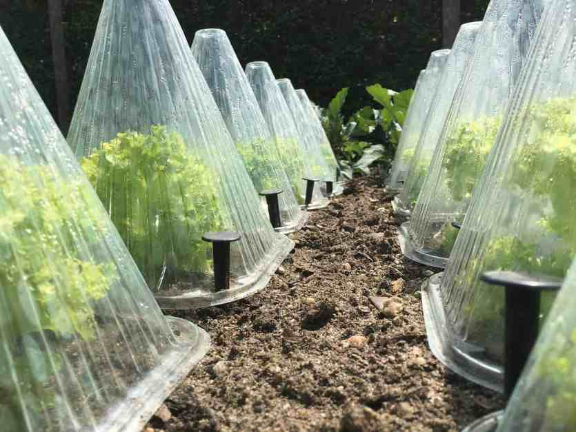 Garden bed with several cloches to protect plants from frost.