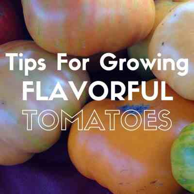 How To Grow The Most Flavorful Tomatoes
