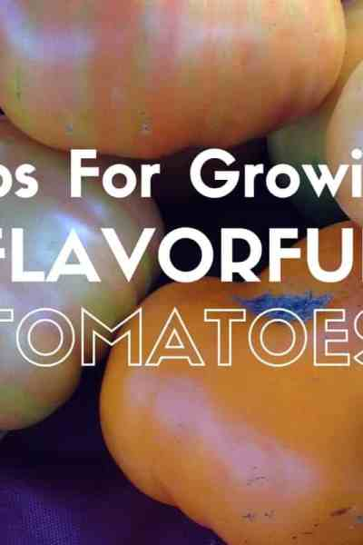 Tips for growing more flavorful tomatoes