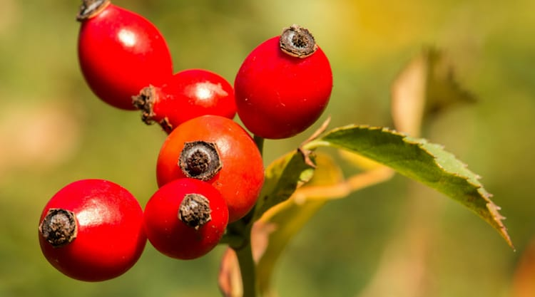 forage for rose hips