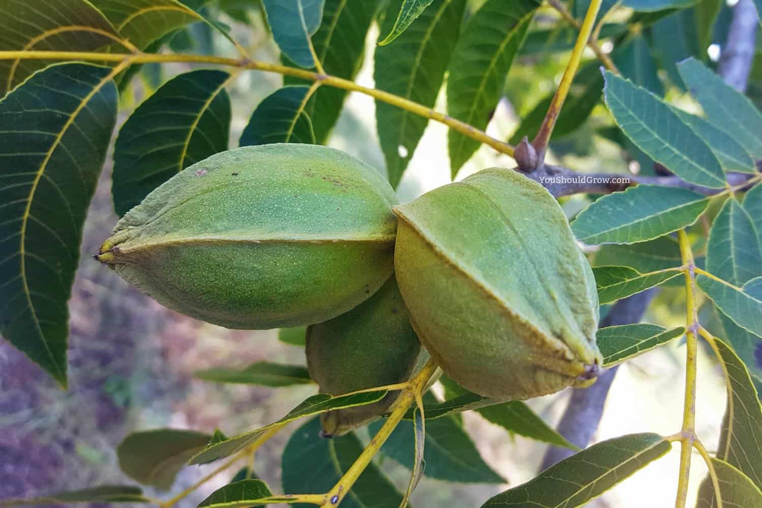 Pecans grow in green husks on beautiful giant trees. They are a fall food staple here in the south. Enjoy one of these delicious pecan recipes with your family!