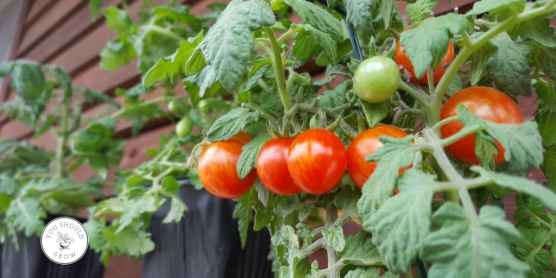 Growing flavorful tomatoes
