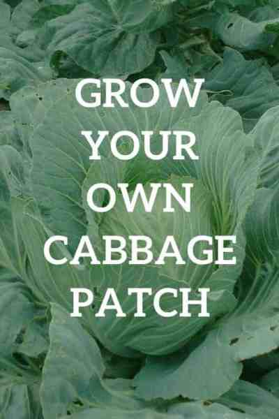 How to grow your own cabbage patch