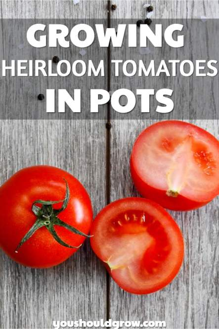 Wondering the best way to grow heirloom tomatoes in pots? Click for juicy tips!