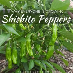 Why Everyone Is Growing Shishito Peppers In 2018
