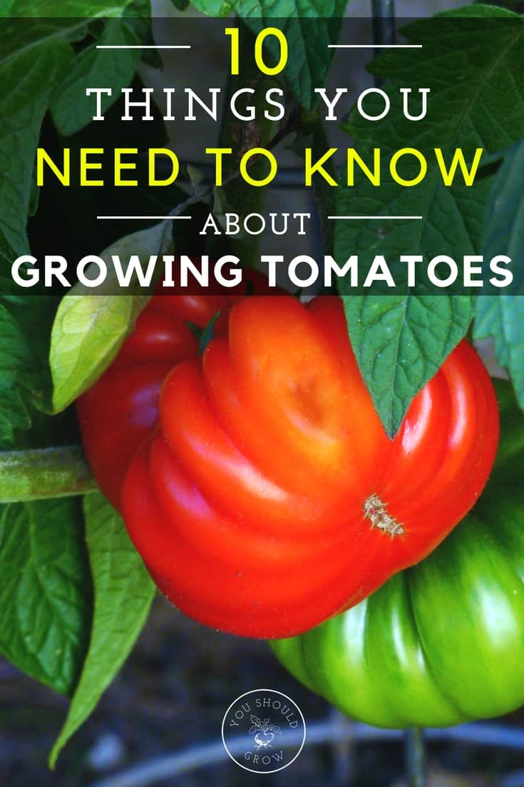 Tomatoes are great to grow in the home garden. If you want to grow the best tomatoes in your garden, then you need to know these 10 things.