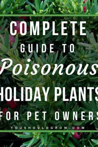Are poinsettias poisonous to cats? Find out in this complete guide to safe and poisonous holiday plants for pet owners.