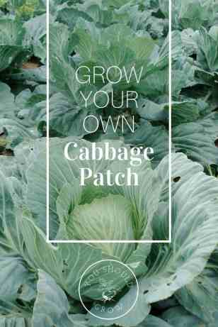 Grow your own cabbage patch this year! Cabbage is easy to grow in the spring and fall garden.