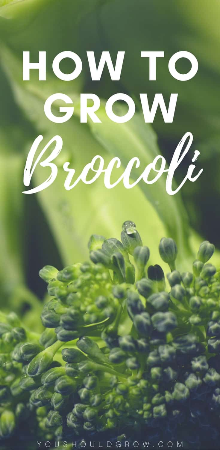 Organic vegetable gardening tips: growing broccoli has proven difficult for many vegetable gardeners. Try this tips for the best homegrown broccoli.