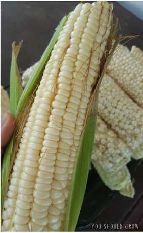 Country Gentlemen ear of corn