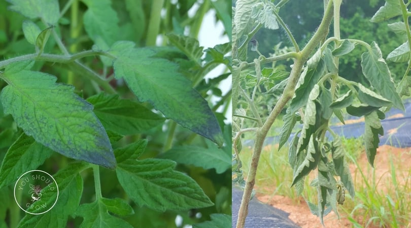 Purple or curled leaves on tomato plants: these are often not a cause of concern.