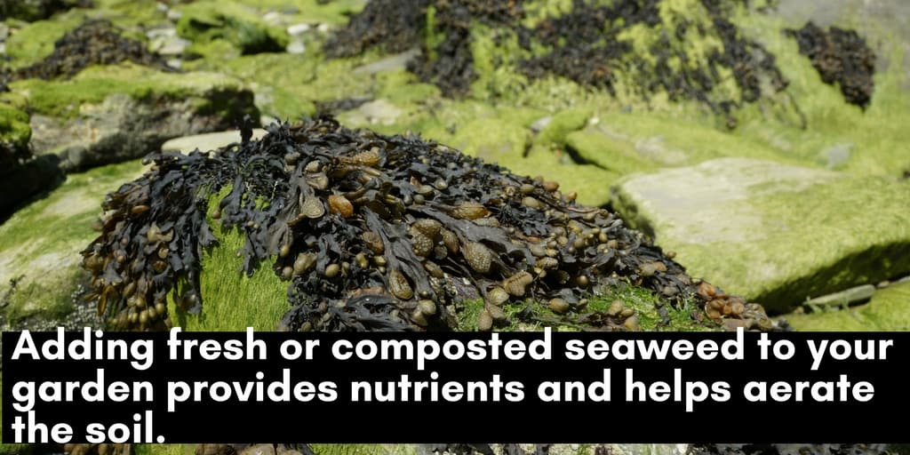 Gardening tips: fresh or composted seaweed is a healthy additive to garden soil.