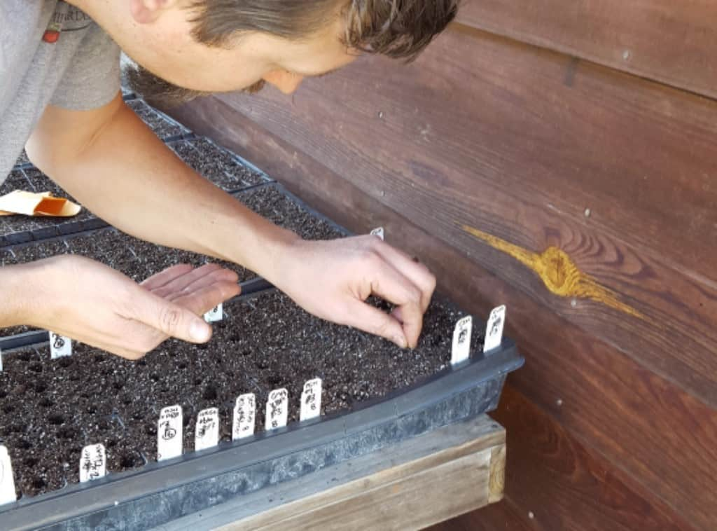 Seed starting: Putting the seeds into the trays.