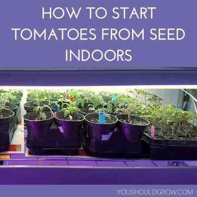 How to start tomatoes from seed indoors in white lettering on purple background with image of tomato seedlings growing indoors on trays underneath shop lights underneath.