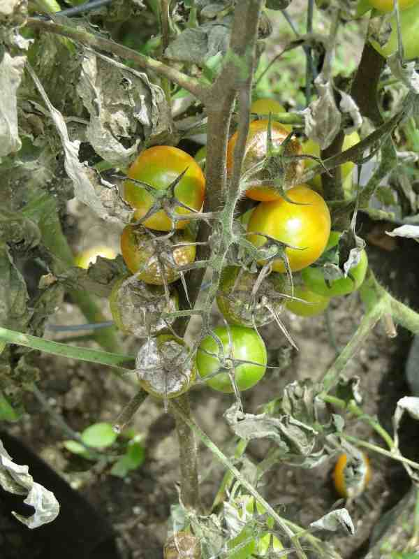 Dry papery leaves & white moldy growth: Image of symptoms of late blight on tomato