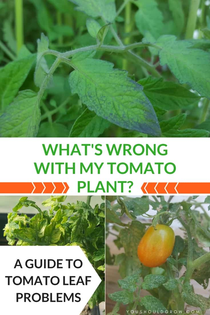 Tomato leaf problems and tomato disease guide with images of brown yellow tomato leaves