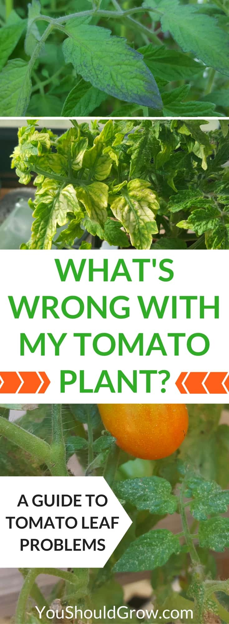 What 39 s wrong with my tomato plant a guide to tomato leaf problems you should grow for What should i plant in my garden
