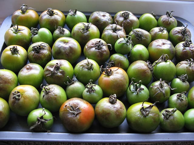 late blight in tomatoes