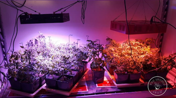 Tomatoes growing under led lights