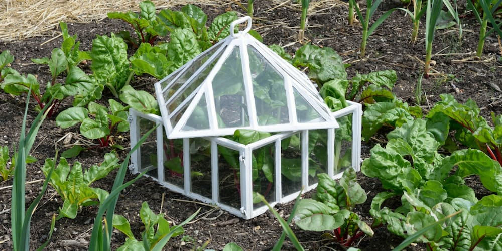 vegetable garden cloche: one way to protect plants from frost