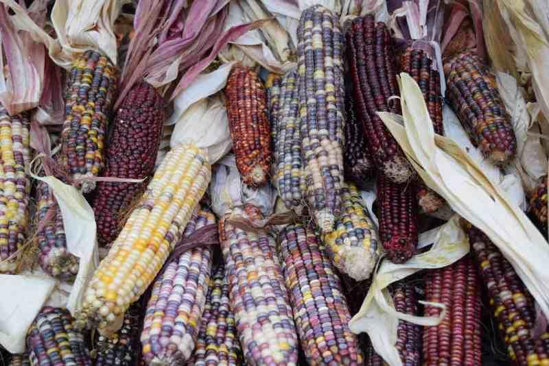 brightly colored ornamental corn
