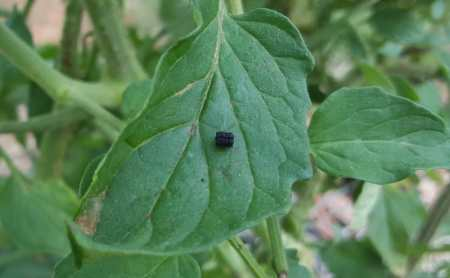 Fecal material from caterpillar on a tomato leaf.
