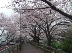20100408_mizumoto_park_sakura4