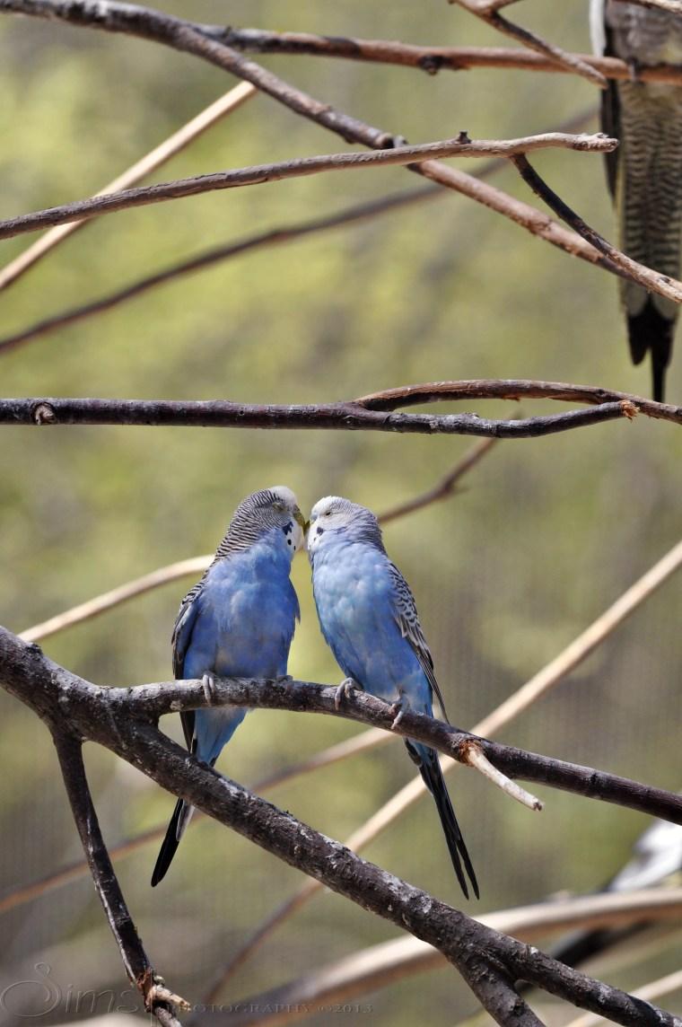 Parakeet Love.