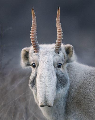 صور حيوانات نادرة - Saiga