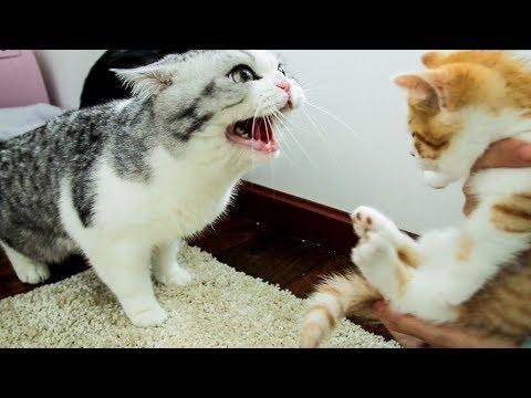 家里来了只小橘猫,大猫们直接炸毛:丢出去,它会吃穷咱家的!