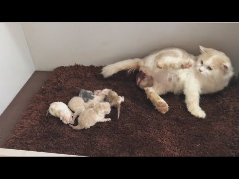Cat giving birth: Cat Gives Birth To 6 Kittens