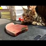 猫の目の前でまぐろを捌くとこうなりますw
