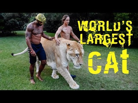 WALKING THE WORLDS LARGEST CAT