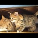 保護された子猫をわが子のように心配して大切にする茶トラ猫