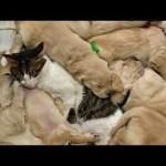 Cat Babysitting Adorable Golden Puppies