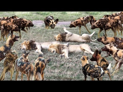 OMG! Epic Battle: King Lion vs Wild Dogs | Big Cat King Lion Attacks Hyenas | Animal Attacks #31