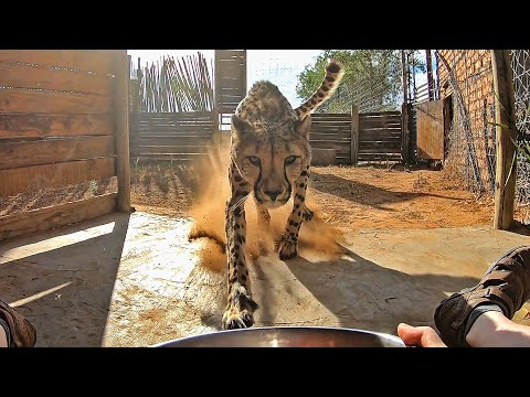 Calling A Cheetah To Dinner | BIG CAT Comes RUNNING FULL SPEED When Called | Eats From Hand Fed Food