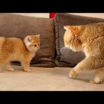 The long-awaited meeting of cat William with his son Alfonso