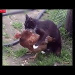 思わずに笑っちゃう鶏と猫の喧嘩・どっちが強いのか