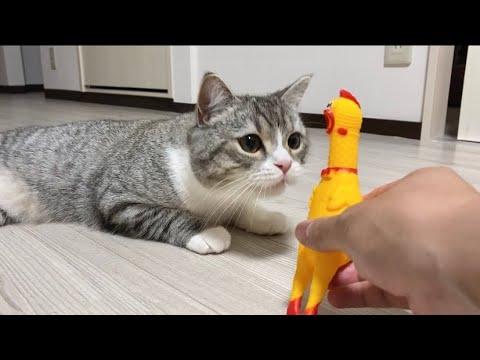 ガーガーチキンがいきなり絶叫したときの猫の驚きっぷりが…笑