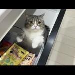 おやつを漁っているのを見つかった猫の反応がこちら…ww