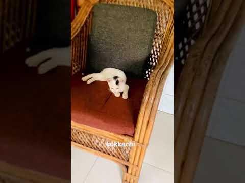 കുഞ്ഞാപ്പി Attitude |funny cat video #shorts