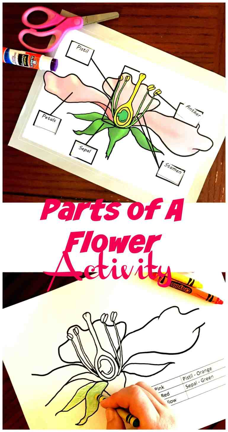 Learn about the parts of a flowering plant with this coloring page and cut and paste page. Perfect to review Cycle 1 Week 11 Science.