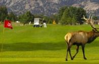 Dev Kanada Geyiği Golf Sahasını Basarsa!