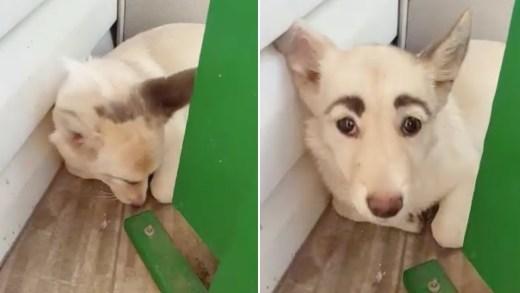insan gibi kaşları olan köpek