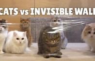 Kedilerin Görünmez Duvarla İmtihanı