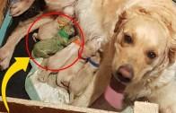 Hamile Golden Köpek Ender Rastlanan Yavru Doğuruyor!