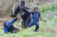 İnsan ve Goril Kapışması – Akıl Almaz Hayvani Mücadele
