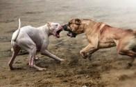 Presa Canario ve Dogo Argentino – Köpek Karşılaştırması