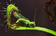 Zararlı Bitkiler Tarafından Yenilen Bahtsız Hayvanlar